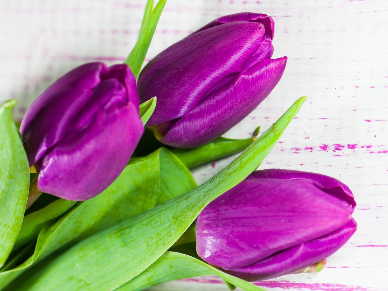 фото сиреневых тюльпанов высокого разрешения афоризмы, фразы, высказывания