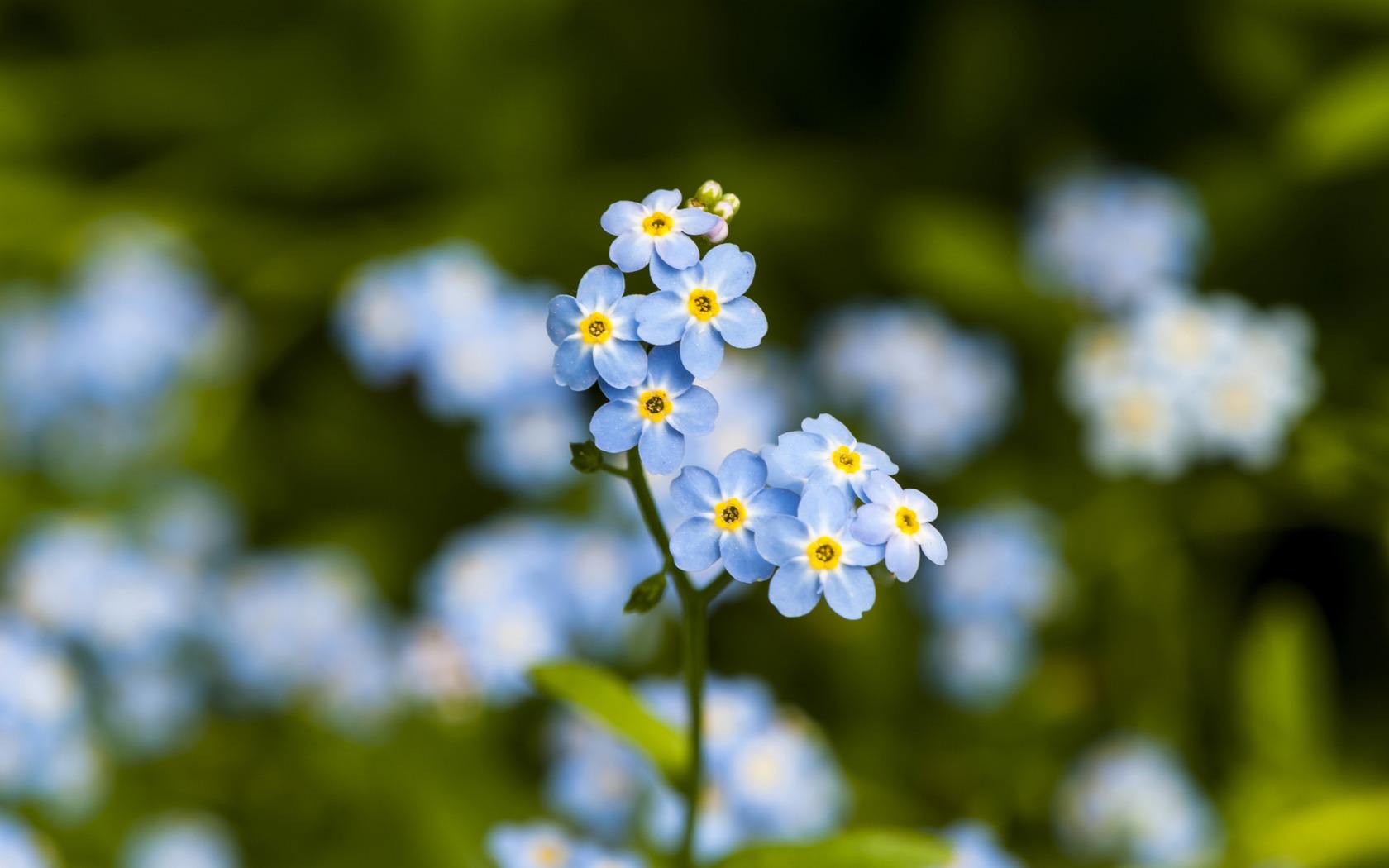 синие цветы незабудки крупный план роса  № 2779649 без смс