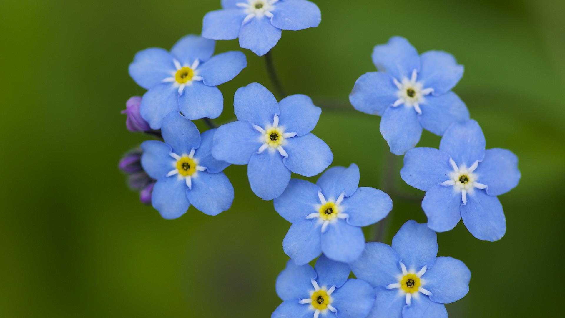 Цветы голубые незабудки  № 1334049 бесплатно