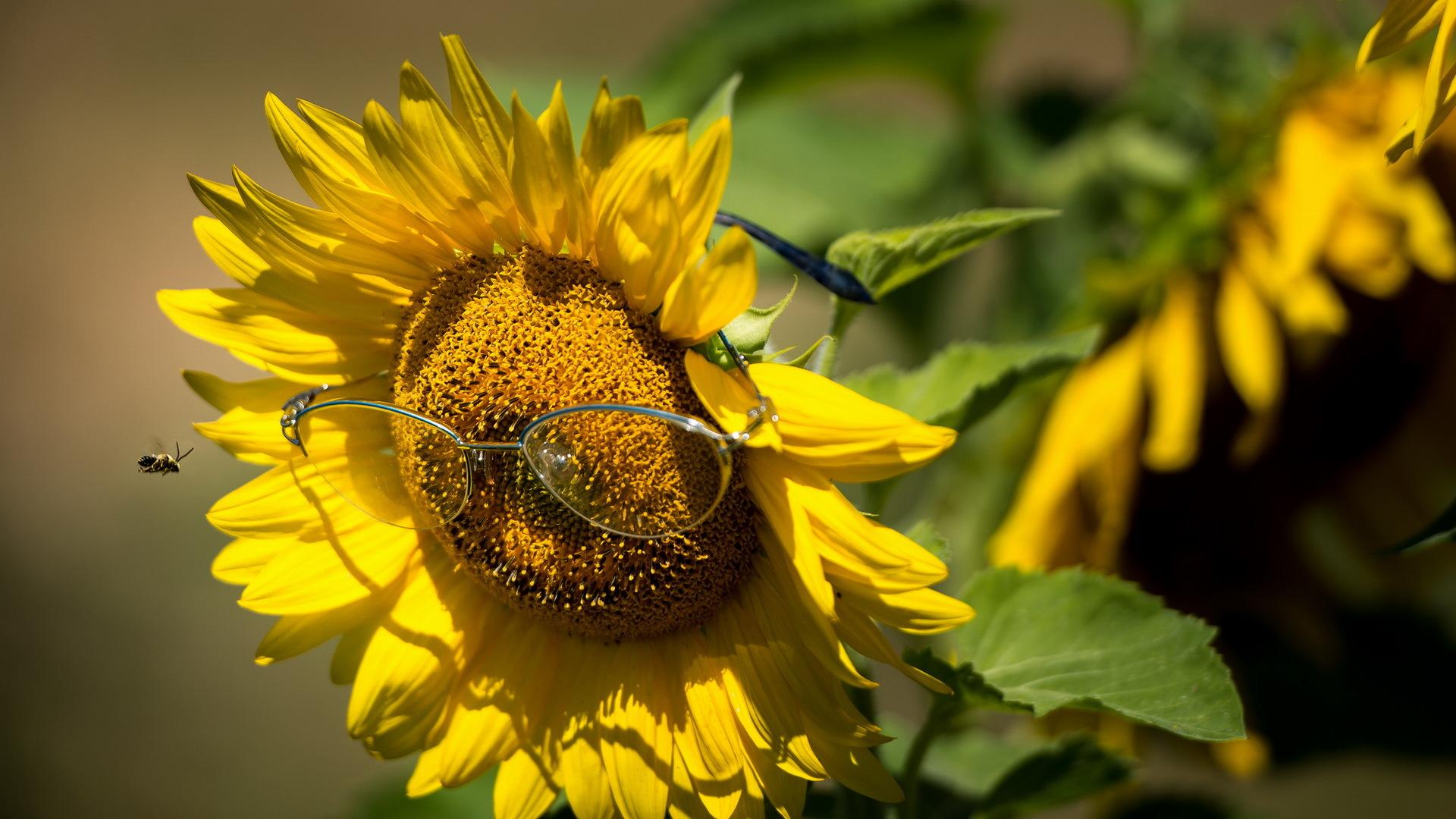 Пчела на подсолнухе  № 657707 без смс