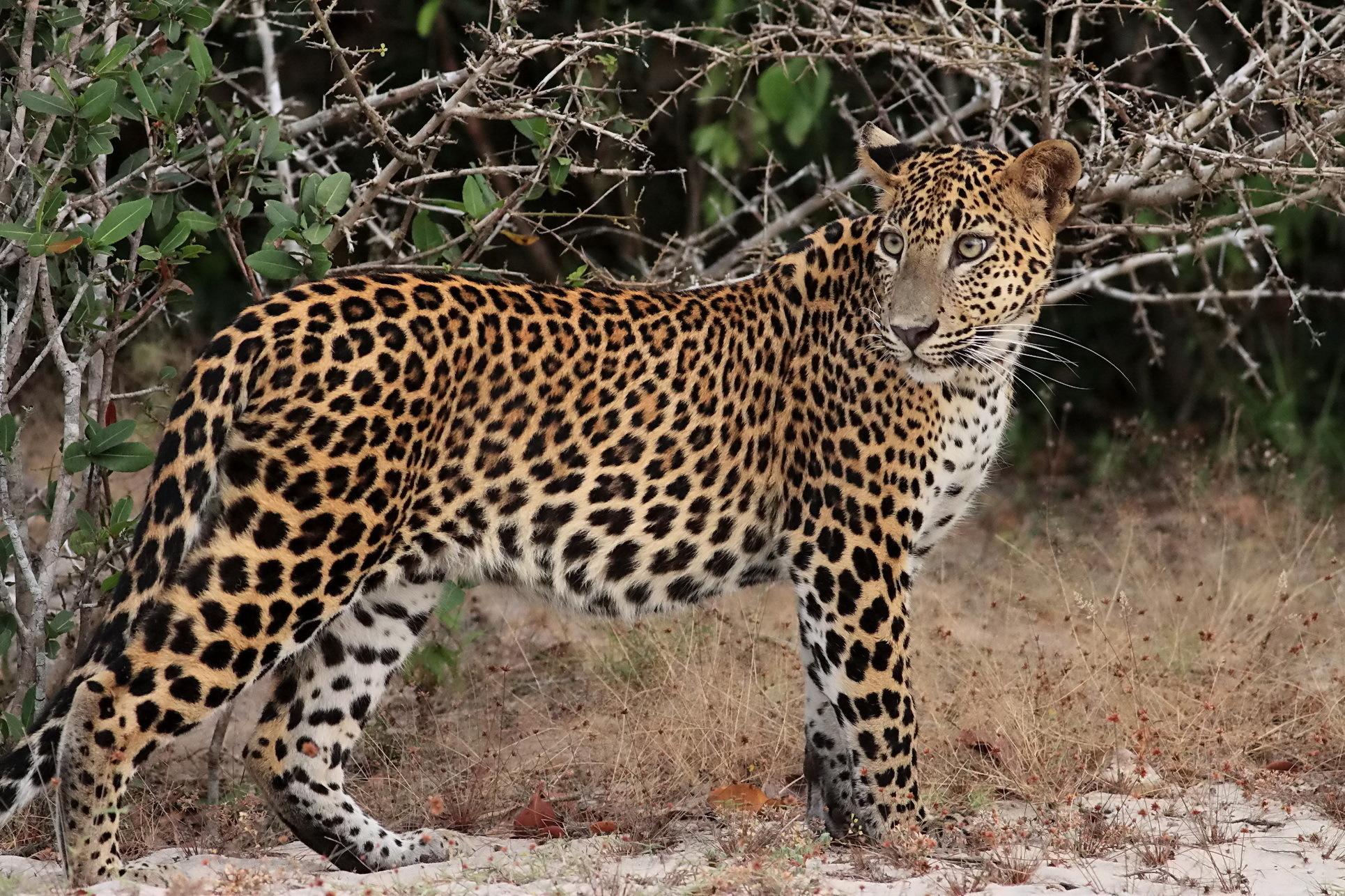 mutant leopards the messybeast - HD1600×1000