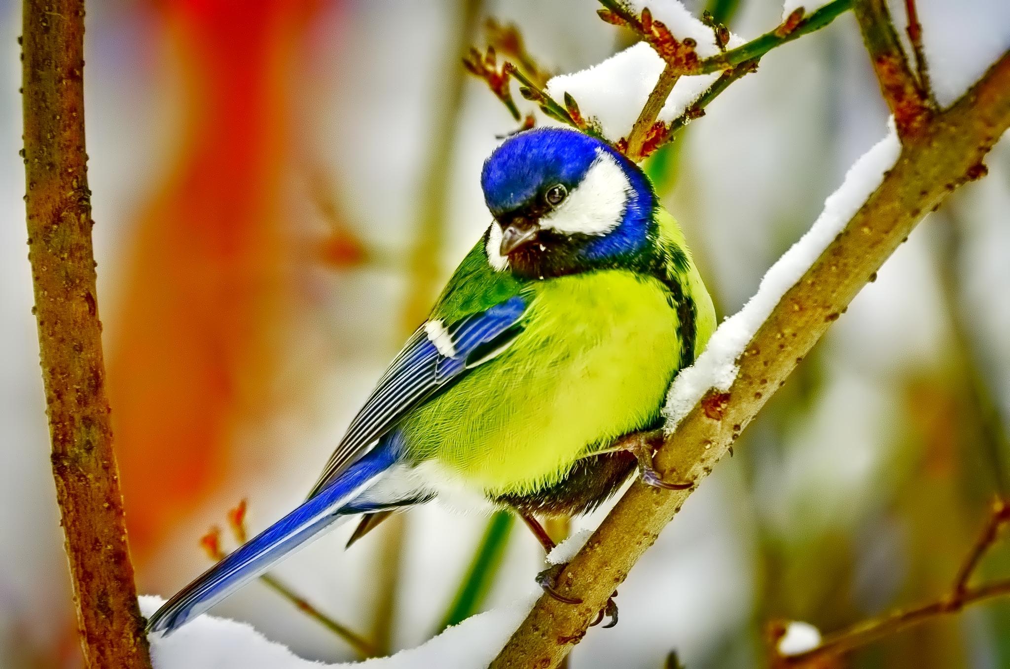 Открытки птицы на ветке зимой