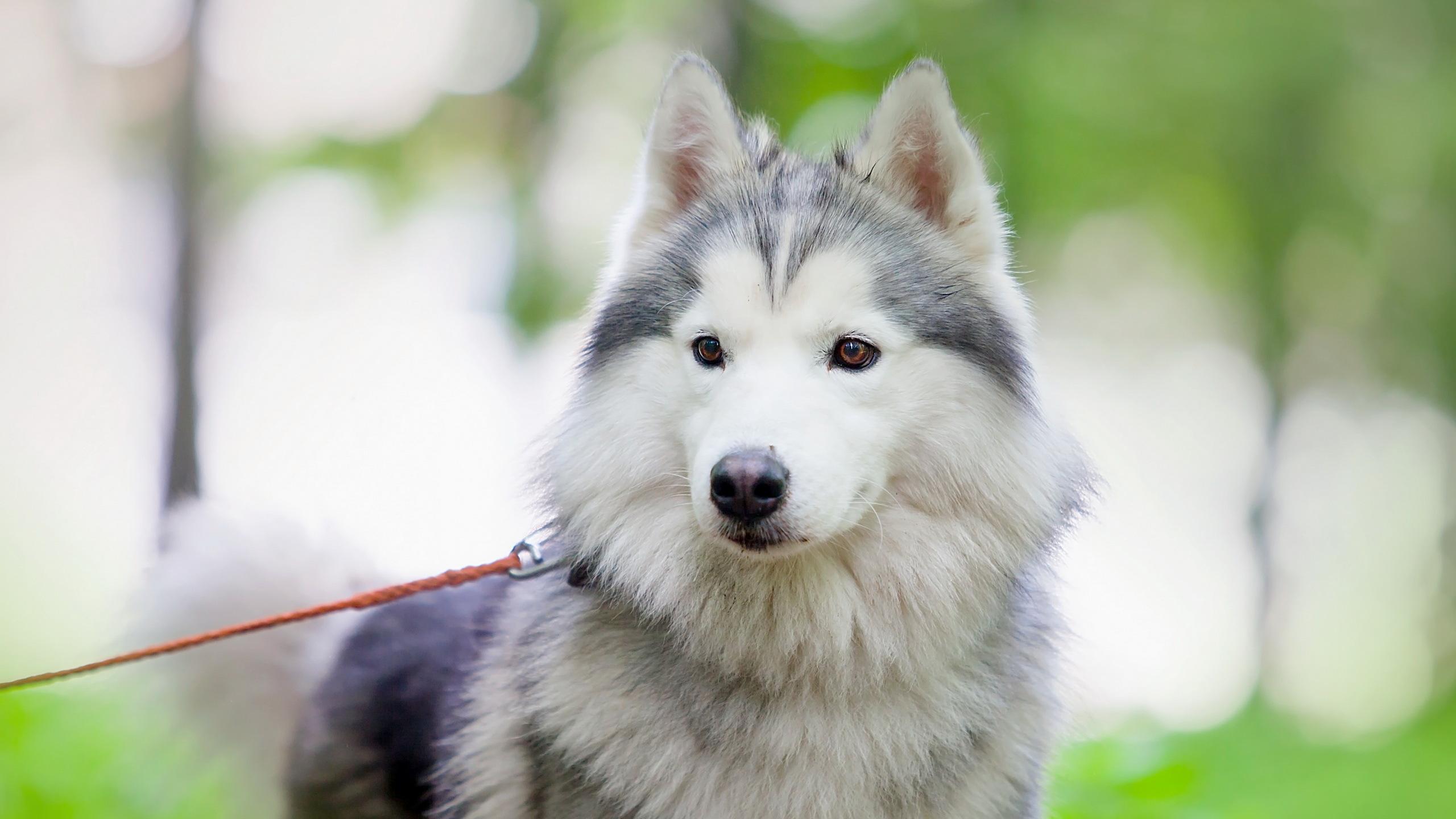 природа животное собака морда хаски  № 3886636  скачать