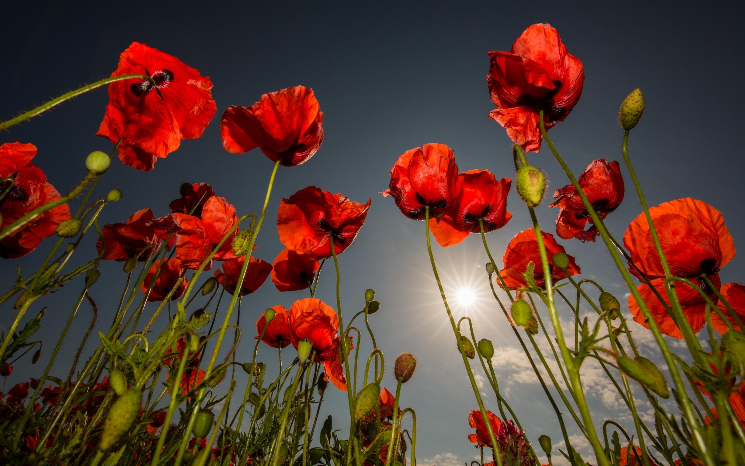 красные маки цветы фото место для тех
