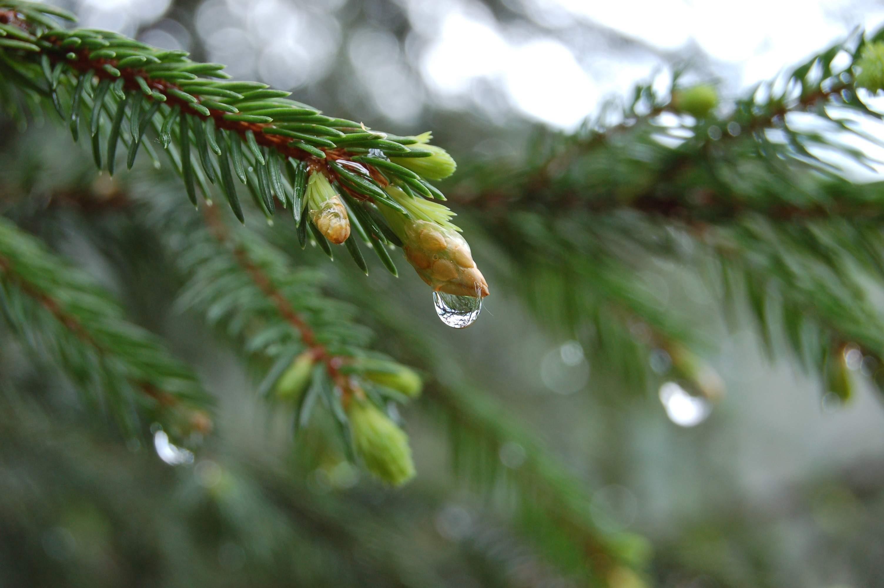 природа деревья ель  № 316111 бесплатно