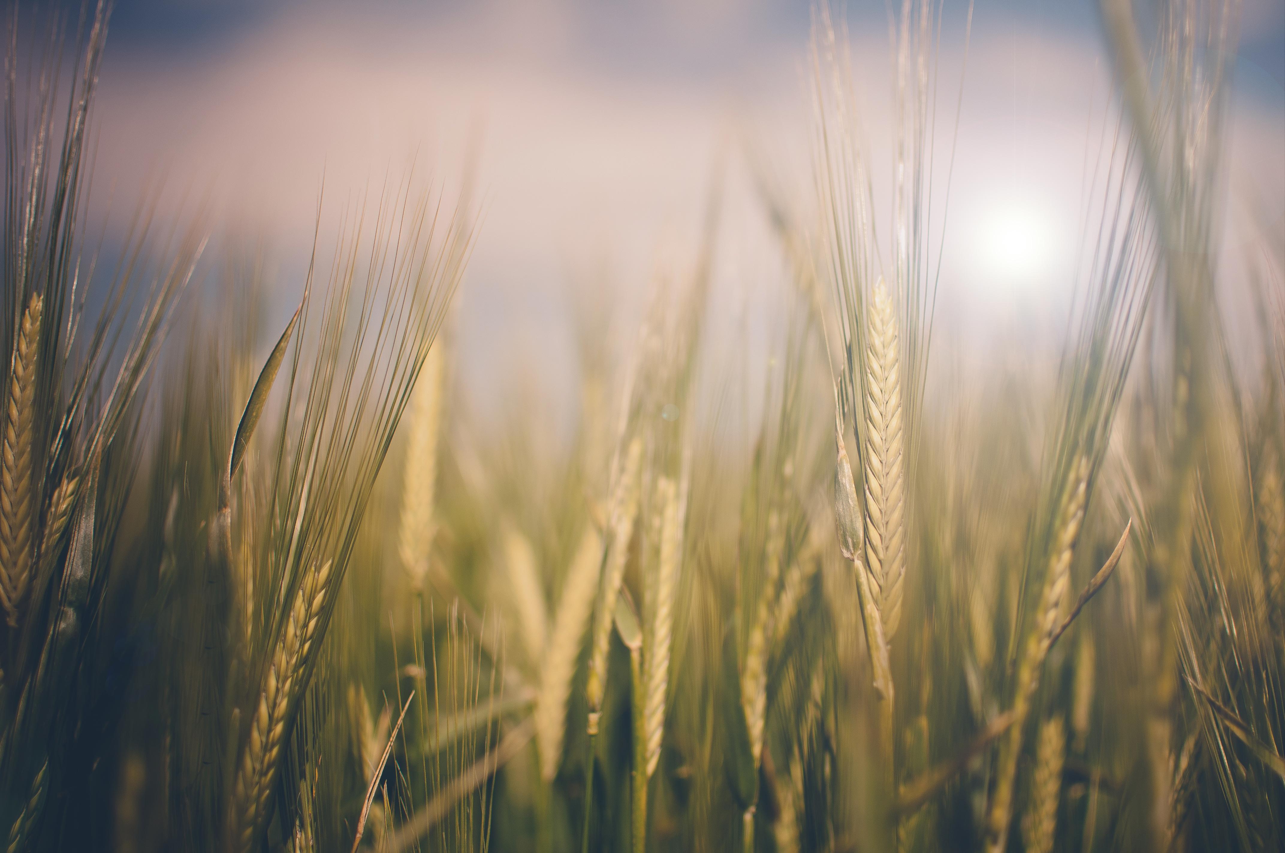 Зеленая пшеница  № 2559176  скачать