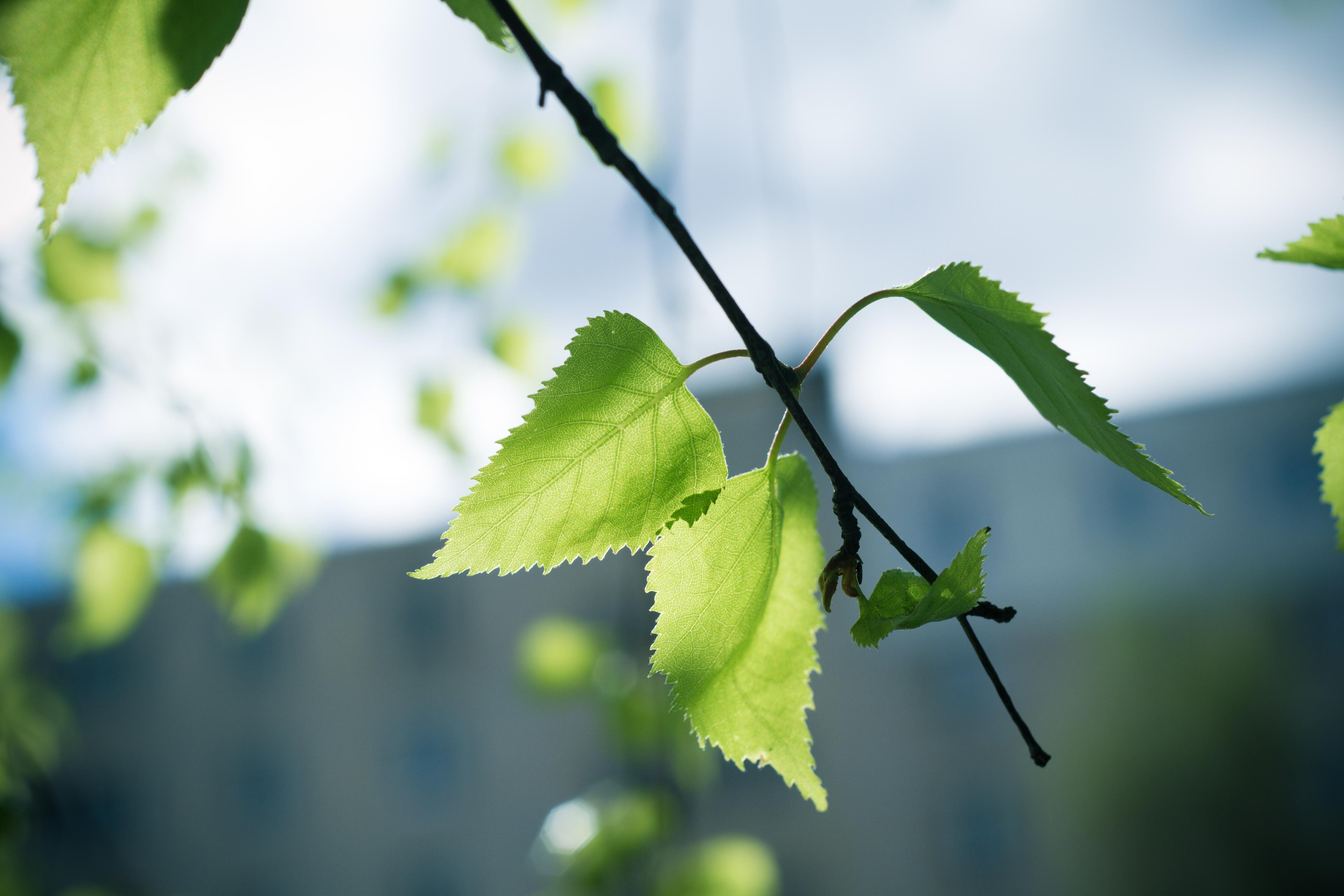 листья ветка фон  № 3218976 без смс