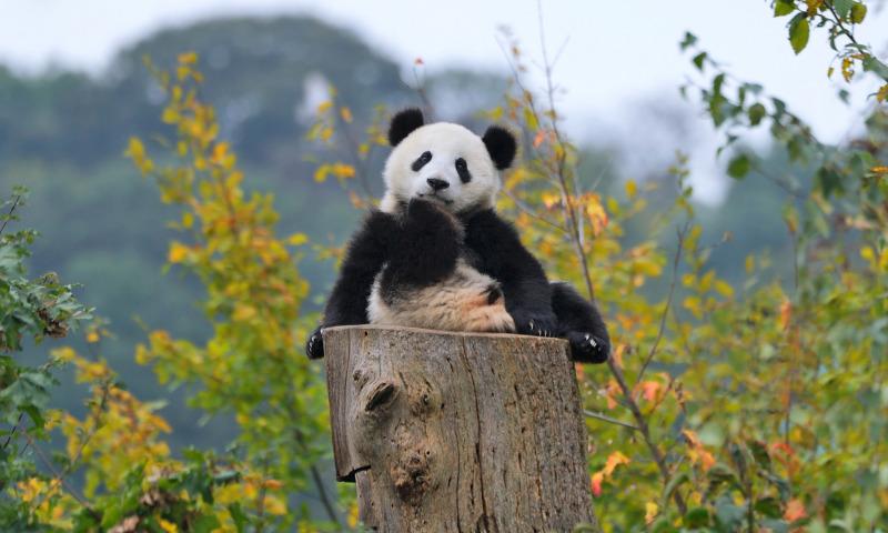Панда ссыт на другую панду