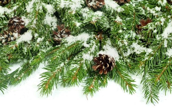 Фото обои снег, ель, ветка, шишки