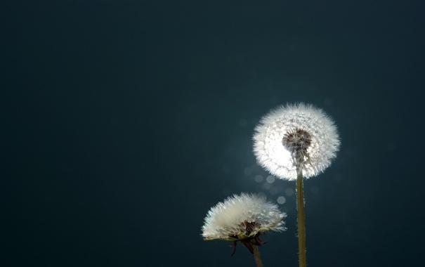 Фото обои макро, цветы, фото, одуванчики