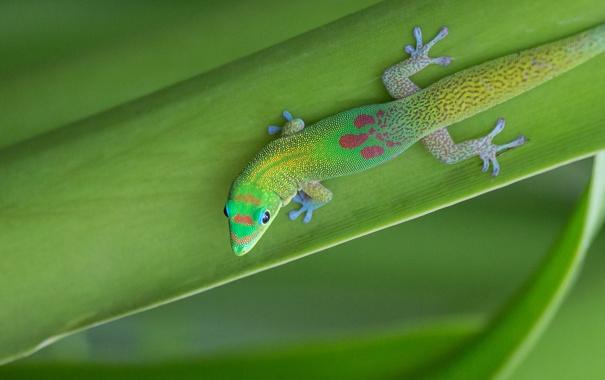 Фото обои лист, растение, ящерица, геккон