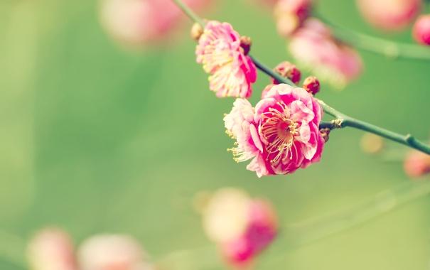Фото обои сакура, вишня, цветение, ветка, макро, цветы