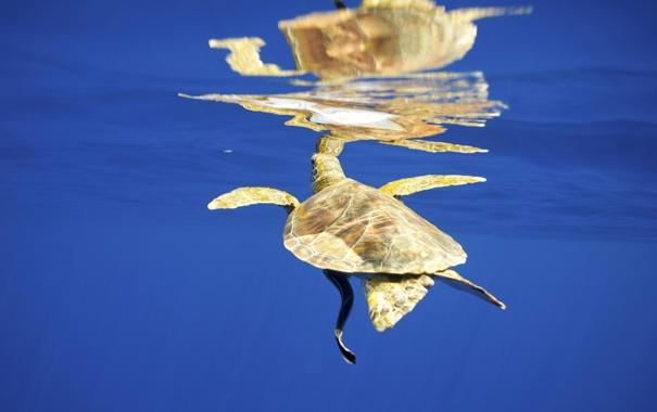 Фото обои море, вода, поверхность, отражение, черепаха, под водой, желтая