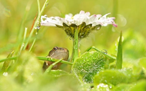 Фото обои цветок, капли, макро, роса, лягушка
