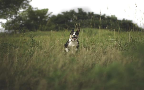 Фото обои язык, лето, трава, собака, бежит, пёс