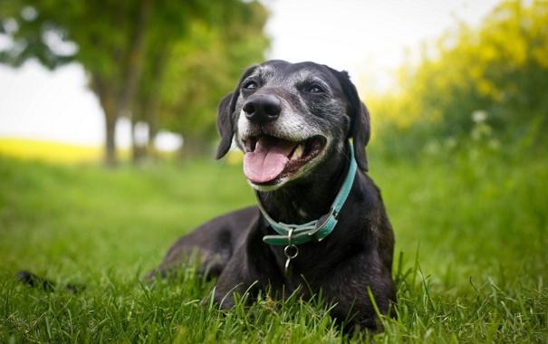 Фото обои зелень, лето, трава, собака