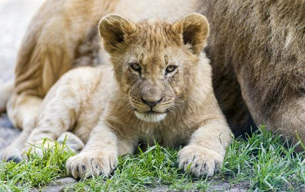 Фото обои трава, взгляд, детёныш, котёнок, львёнок, ©Tambako The Jaguar