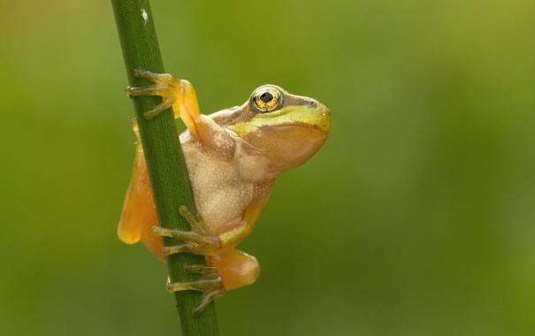 Фото обои фон, лягушка, стебель, зелёный