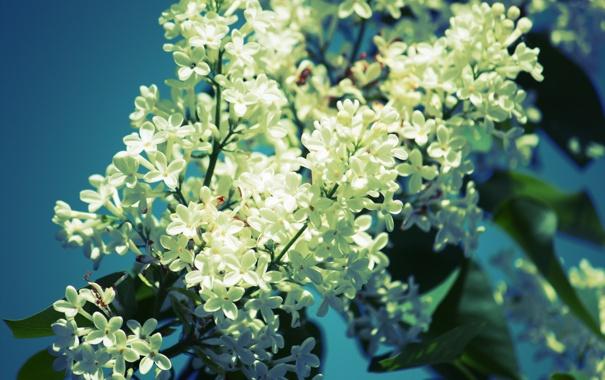 Фото обои небо, цветы, голубое, ветка, весна, белая, синее