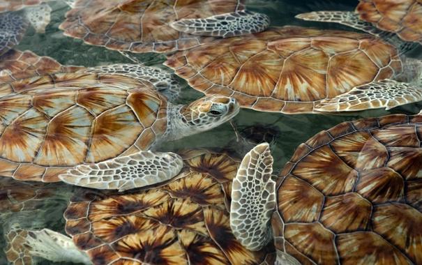 Фото обои море, черепашки, панцирь, черепахи, плавают