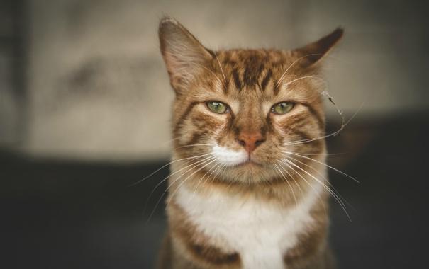 Фото обои кот, взгляд, портрет, бело-рыжий