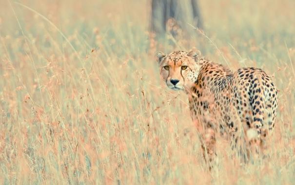 Фото обои природа, фон, леопард