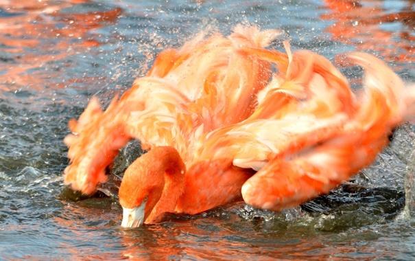 Фото обои брызги, розовый, птица, крылья, купание, фламинго