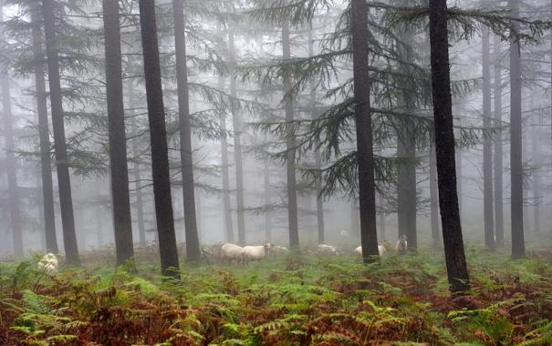 Фото обои лес, природа, туман, овцы