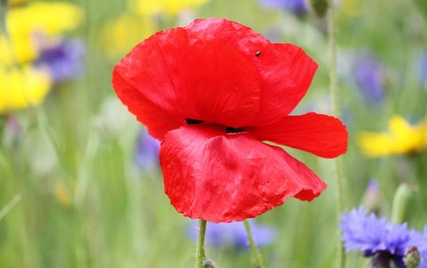 Фото обои поле, цветок, природа, растение, мак, лепестки, луг