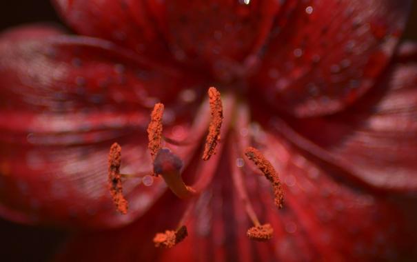 Фото обои макро, цветы, роса, пыльца, пестик, тычинка, красный цветок