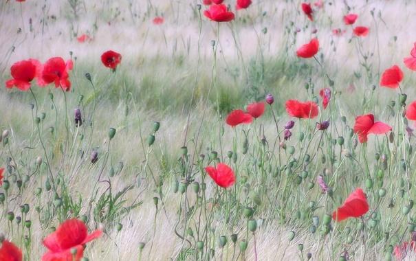 Фото обои поле, маки, красные