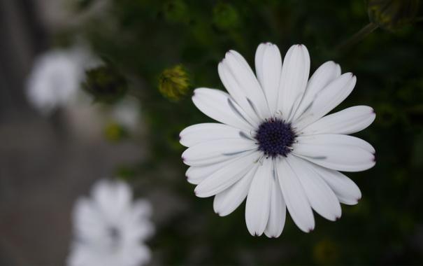 Фото обои листья, цветок, белая, хризантема, макро, фокус