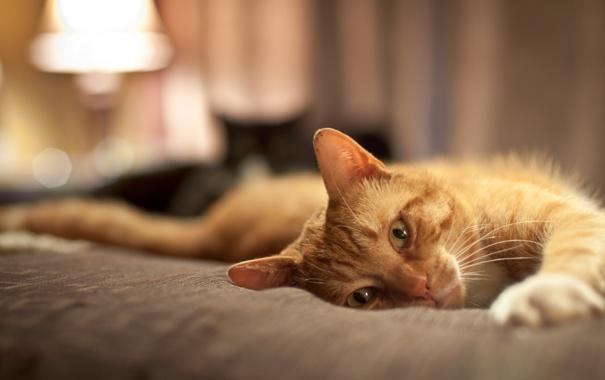 Фото обои кот, рыжий, постель, вытянулся