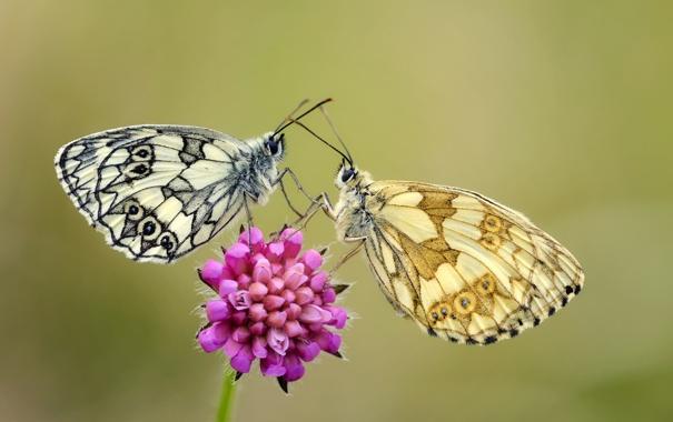Фото обои цветок, бабочки, крылья, стебель, усики, flower, wings