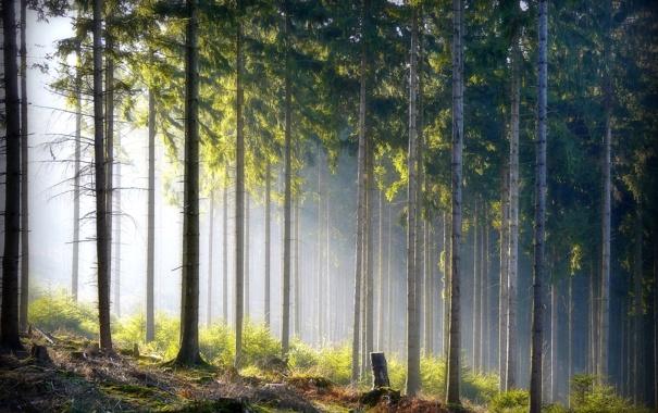 Фото обои лес, природа, стволы
