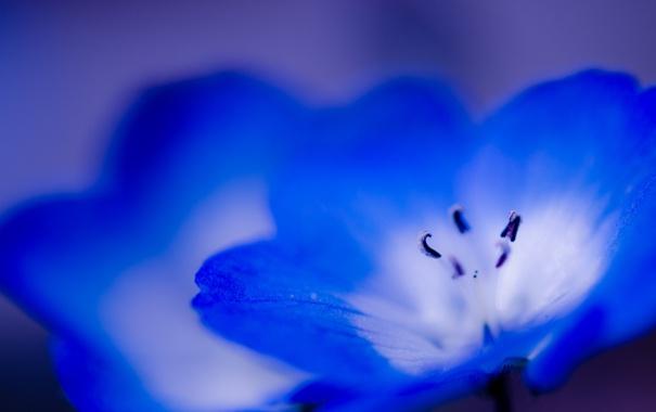 Фото обои цветок, макро, синий, голубой