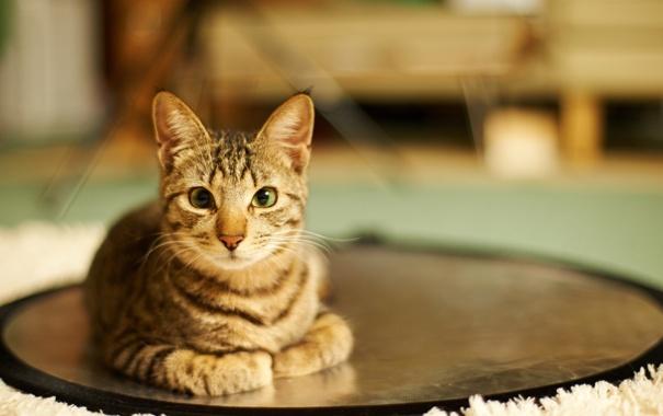 Фото обои кошка, дом, комната, круг, лежа