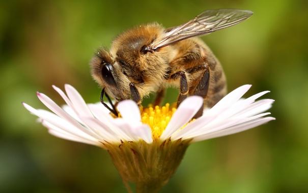 Фото обои цветок, пчела, фон