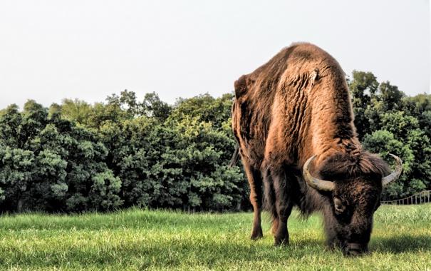 Фото обои grass, horns, field, animals, big, brown, wild