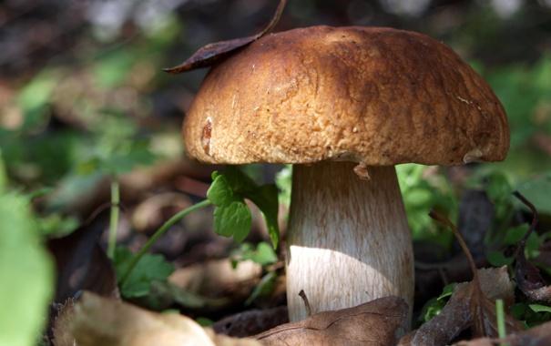 Фото обои осень, белый, листья, гриб, еда, боровик