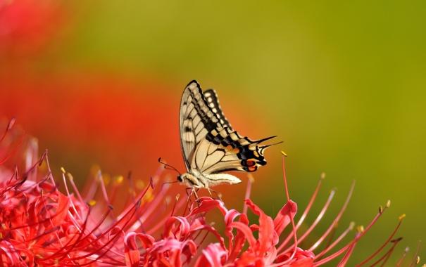 Фото обои цветы, фон, бабочка, лилии, красные