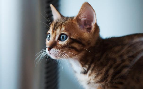 Фото обои кот, взгляд, котенок, фокус