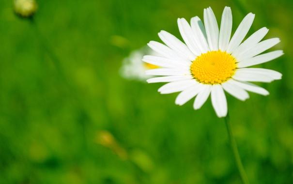 Фото обои поле, белый, цветок, жёлтый, лепестки, ромашка, зелёный