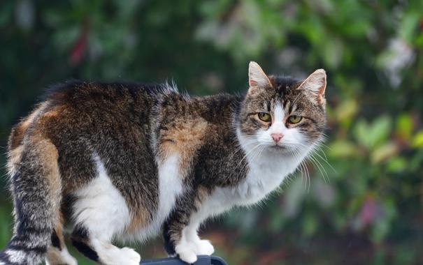 Фото обои кошка, кот, взгляд, пушистая