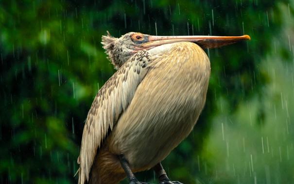 Фото обои дождь, птица, клюв, пеликан