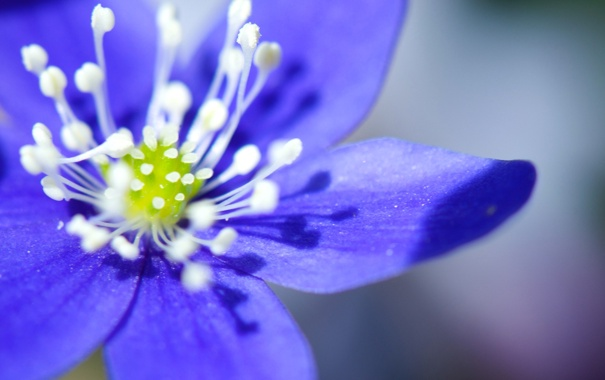Фото обои цветок, лепестки, тычинки