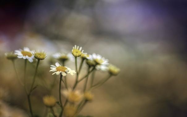 Фото обои макро, цветы, ромашки
