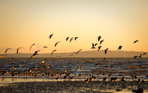 Фото обои море, закат, птицы, берег, морской, золотой фон