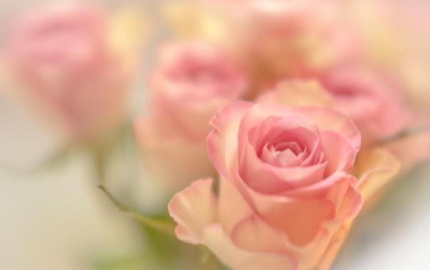 Фото обои макро, цветы, розы, розовые