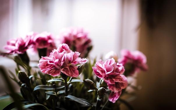 Фото обои макро, цветы, розовый, букет, весна, горшок, цветение